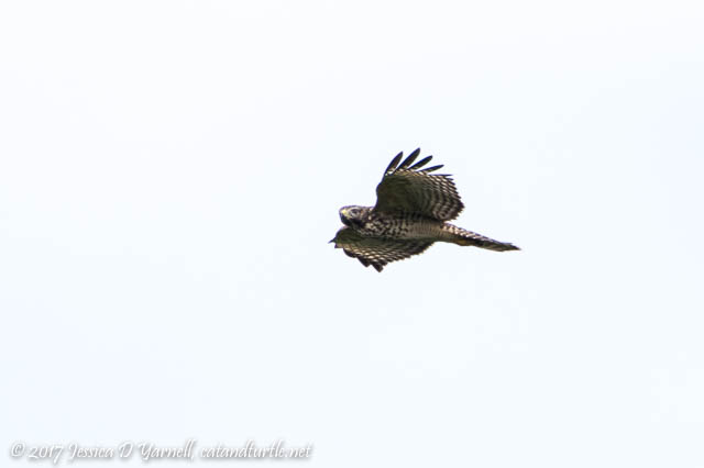 Red-shoulded Hawk in Flight