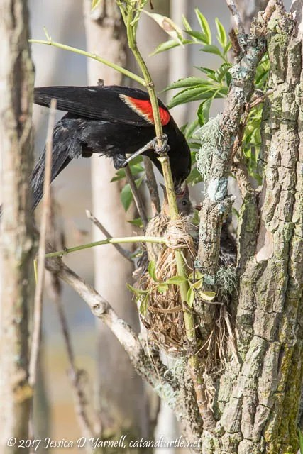 Red-winged Blackbird Feeding Babies at Nest