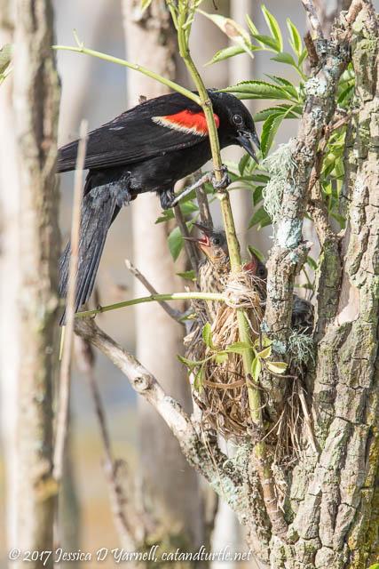 Red-winged Blackbird Feeding Babies at Nest
