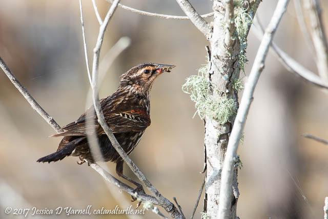Red-winged Blackbird Fledgling