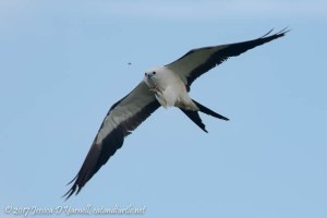 Swallow-tailed Kite Catching Bug in Mid-Air