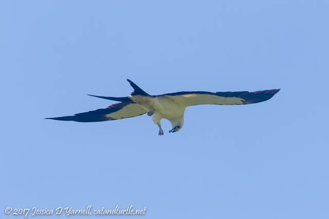 Swallow-tailed Kite with Bug
