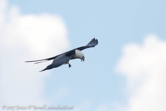 Swallow-tailed Kite Playing with his Food