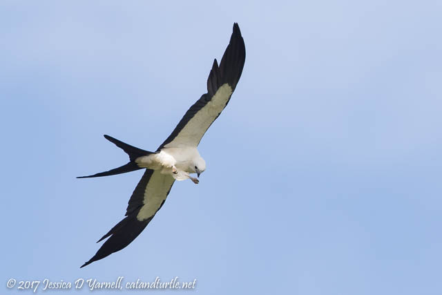 Swallow-tailed Kite Eating on the Wing