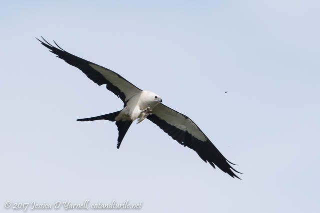 Swallow-tailed Kite Going for the Bug