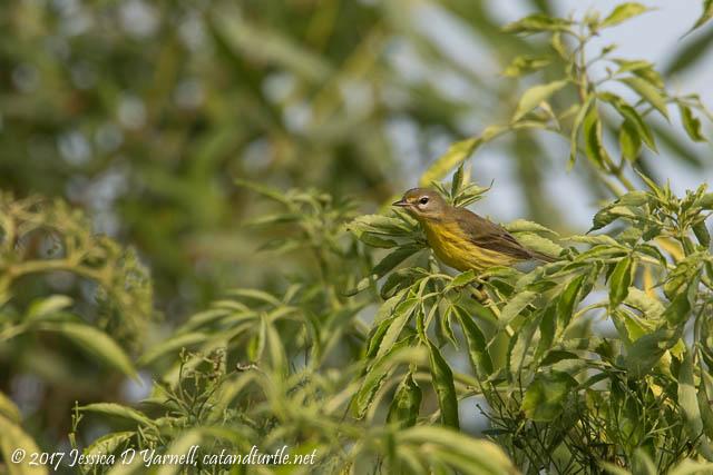 Juvenile Prairie Warbler