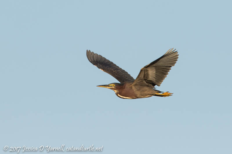 Green Heron in Flight
