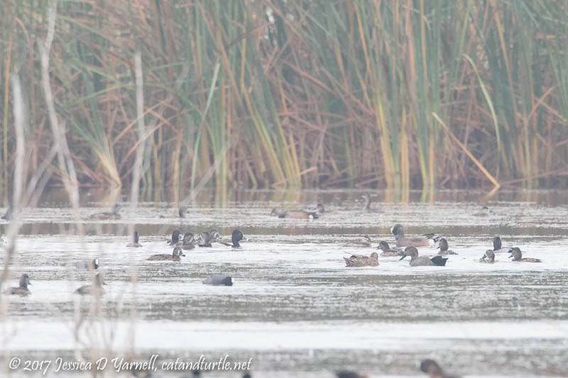 American Wigeon, Gadwall, Ruddy Ducks, RIng-necked Ducks, American Coots