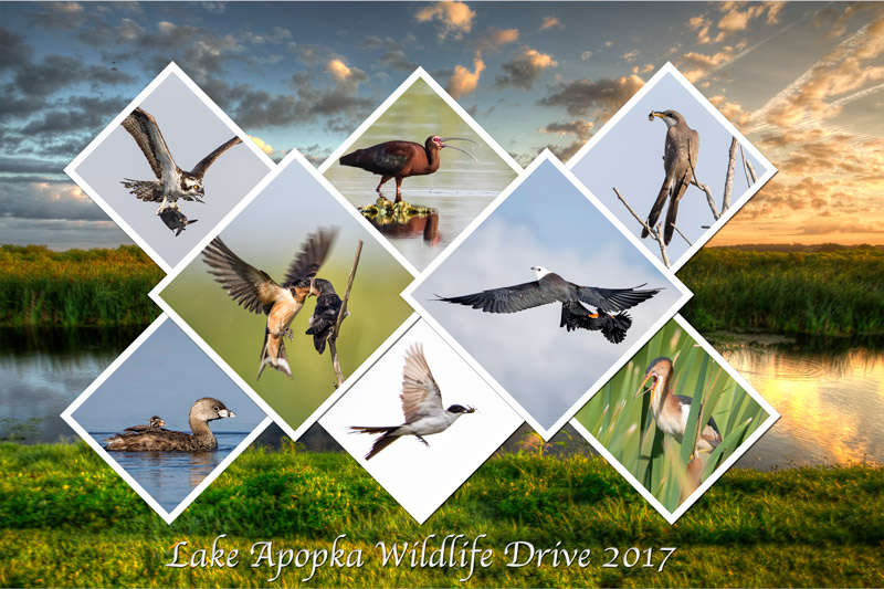 Lake Apopka Wildlife Drive 2017