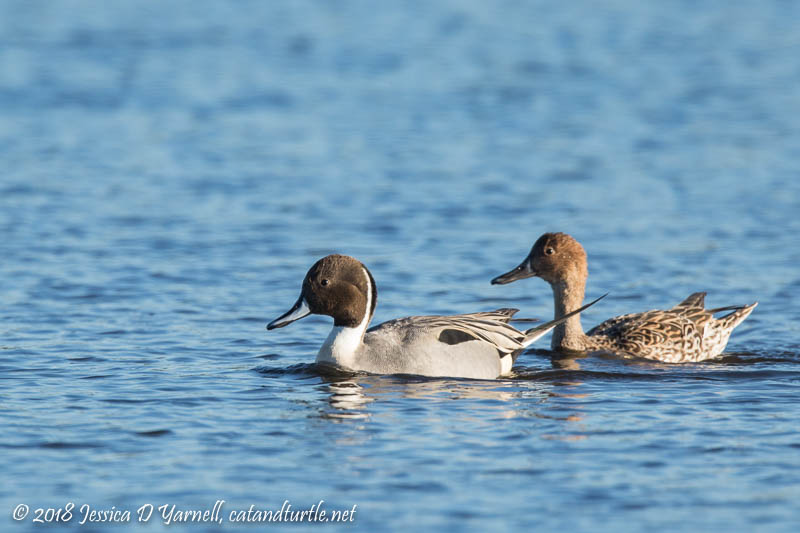 Northern Pintail Ducks (Male on Left, Female on Right)