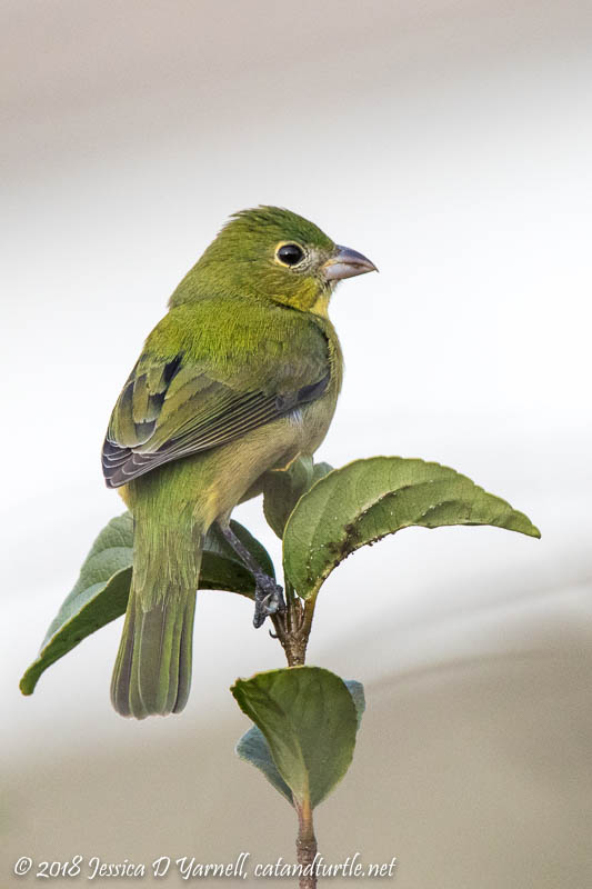 Painted Bunting Greenie