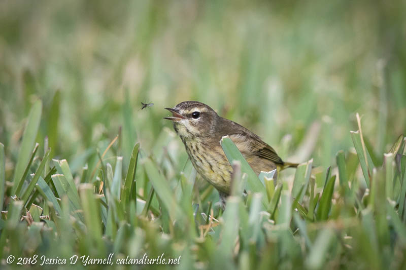 Palm Warbler Catching Bug