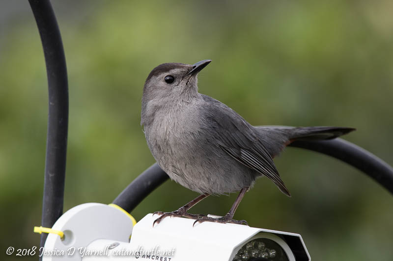 Gray Catbird on Camera