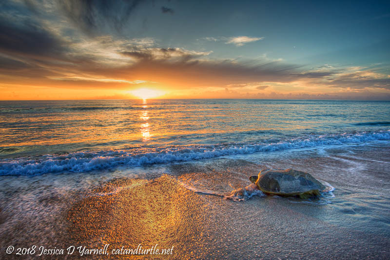 Green Sea Turtle at Sunrise