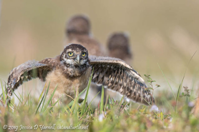 Burrowing Owlet Stretching His Wings