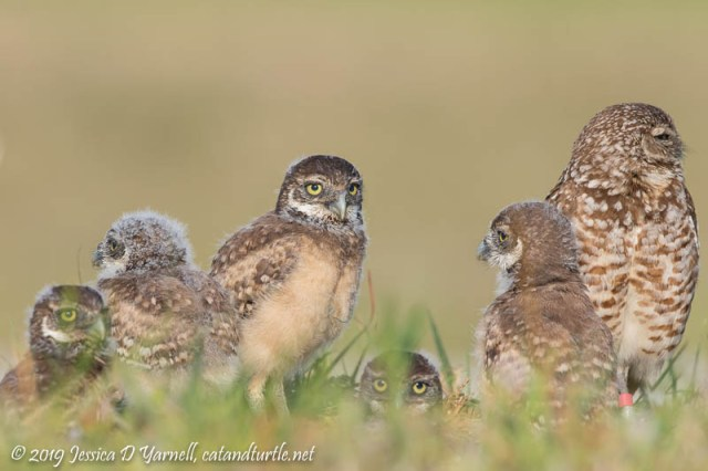 Burrowing Owl Mom and her Five Babies