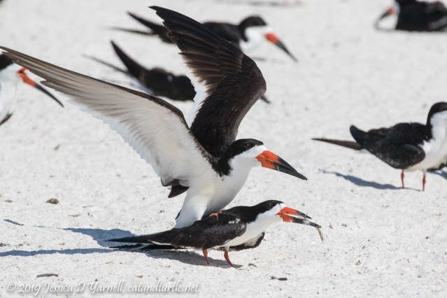 Black Skimmer Piggy-back Ride