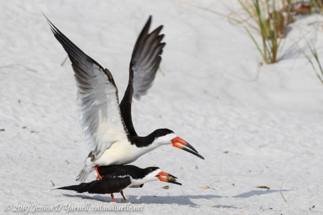 Black Skimmers Getting Ready for Tiny Cute Fuzzballs! :)