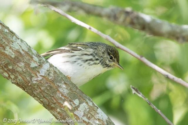 Blackpoll Warbler (Female)