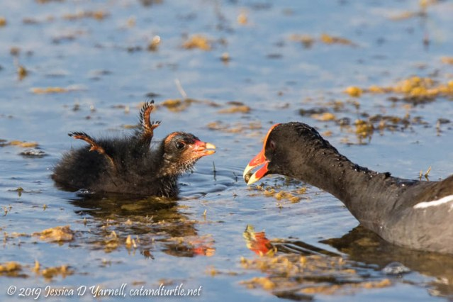 Common Gallinule Feeding Chick