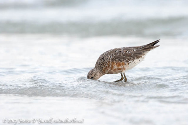 Red Knot Playing Peek-a-Boo