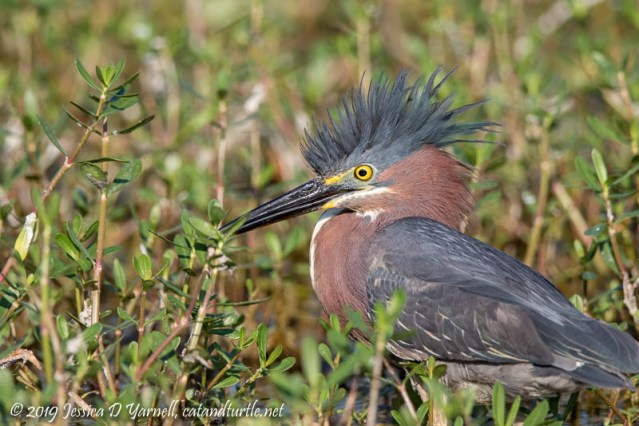 Green Heron with a Hairdo!