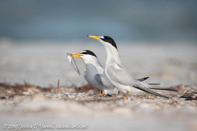 Least Tern Courtship