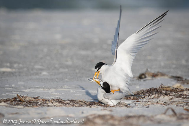 Least Tern Courtship: Finally the male starts to hand over the fish as he hops onto the female's back
