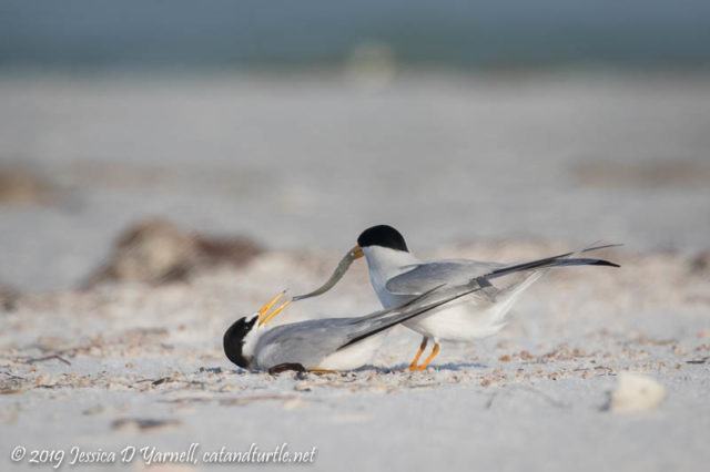 Least Tern Courtship: After the male dangles the fish in her face for a while, the female tries to grab it