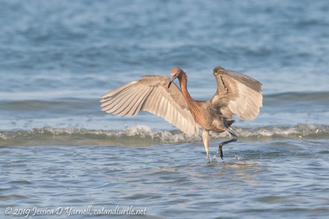 "Reddish Egret ""Big Red"" Fishing"