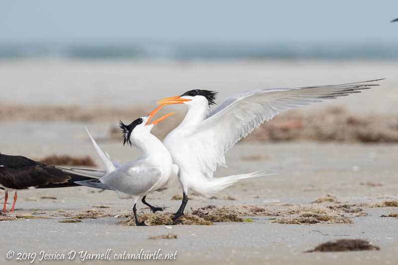 Royal Tern Courtship