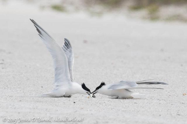 Sandwich Tern Fish Fight