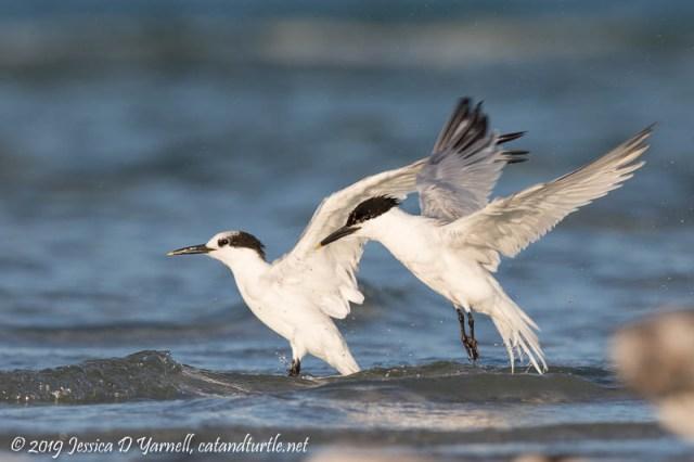 Sandwich Tern Joint Take-Off