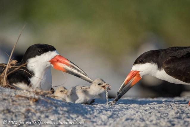 Black Skimmers Feeding Baby