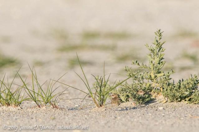 Least Tern Chicks: Hide and Seek!