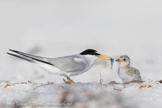 Least Tern Feeding Chick