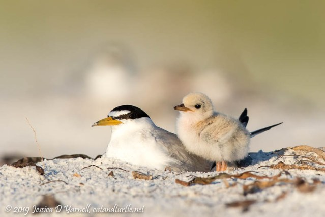 Least Tern: Mother and Chick