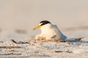 Least Terns: Under Mom's Wing