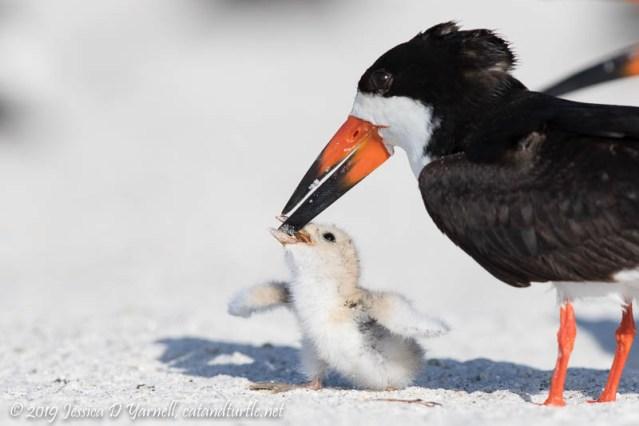Black Skimmer Feeding Baby
