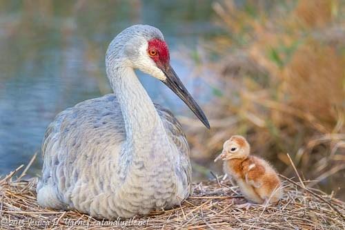 First-Light_Melbourne-Sandhill-Crane-Nest_201303246_copyrightJessYarnell