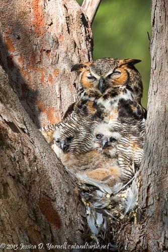Great-Horned-Owl-Family-Portrait_Fort-De-Soto_201402161_copyrightJessYarnell
