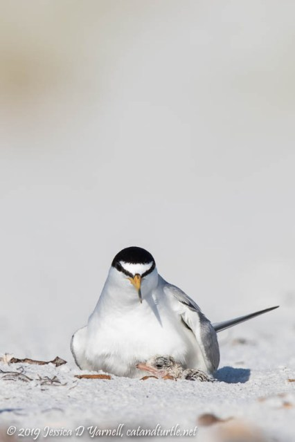 Least Tern with Just-Hatched Chick