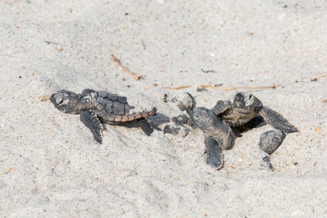Loggerhead Sea Turtle Hatchling