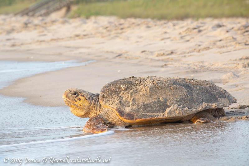 Loggerhead Sea Turtle Returning to Ocean after Nesting