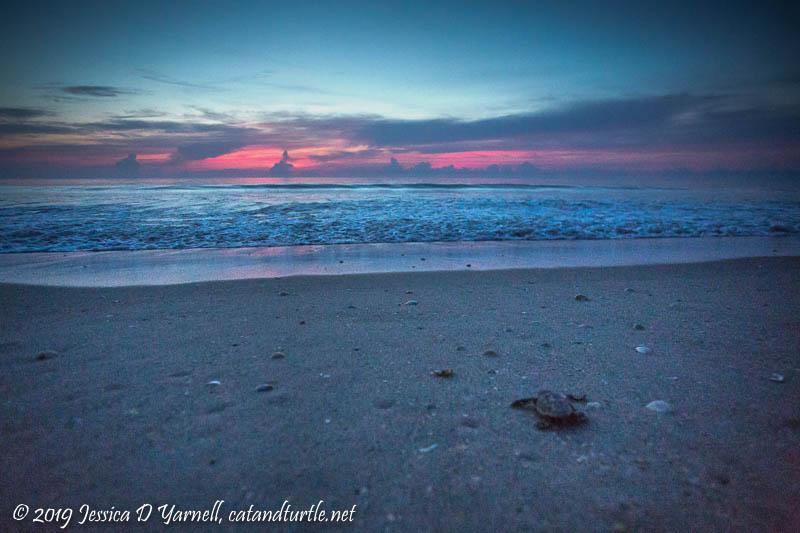 Turtle Hatchling at Sunrise