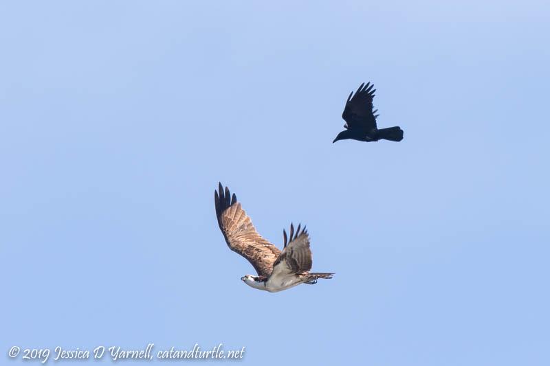 Grackle Chasing Osprey