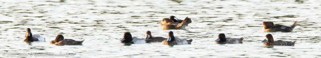Lesser Scaups and Hooded Mergansers