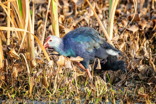 Gray-headed Swamphen with Baby