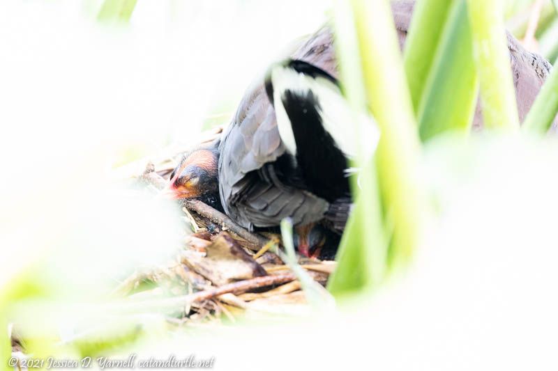Common Gallinule Babies at Nest