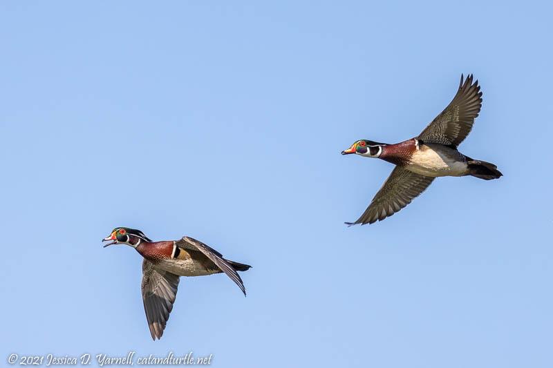 Male Wood Ducks in Flight